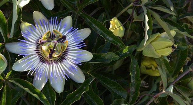 Passion flower : photo credit  Emma Mackay